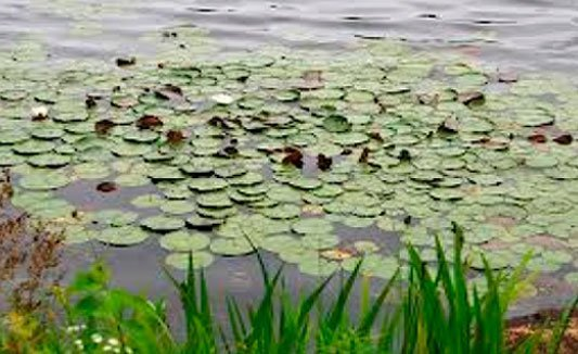 White Water Lily: Grows rooted in mucky or silty bottoms up to 5 feet deep. Flower opens in morning and usually closes by afternoon. Thick tubers make hand-pulling difficult but very effective. DNR will allow a channel 15 feet wide extending to open water by hand-pulling without a permit. Any other destruction of floating-leaf vegetation requires a permit.