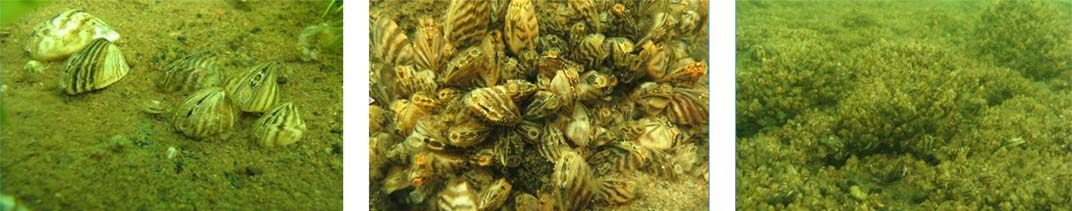 Mussels clustered on Lake Floor