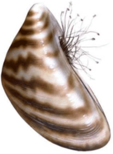 Mussel Illustration