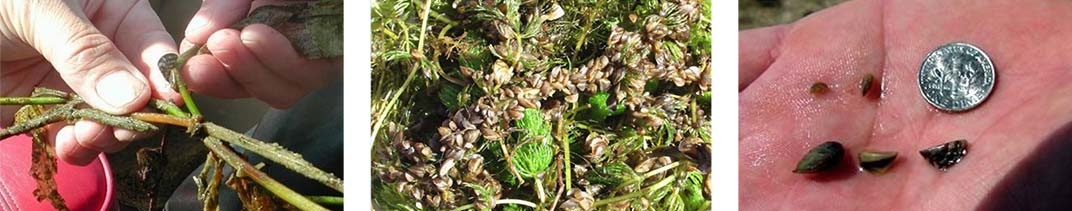 Mussels on Plants