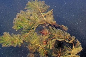 Milfoil invasive species removal