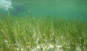 Minnesota Lakes Eelgrass: Lake Weed Control Services by Waterfront Restoration
